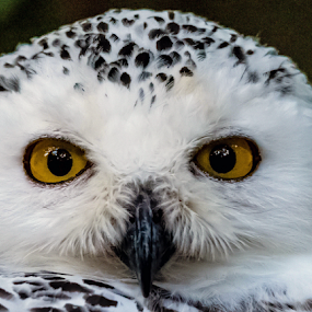 Wisdom Eyes..... by Ioannis Alexander - Animals Birds ( owl,  )