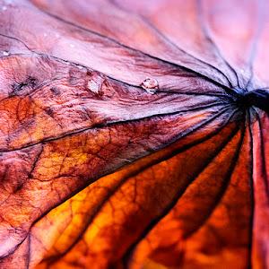 lotus-leaf-P1930031-1050.jpg