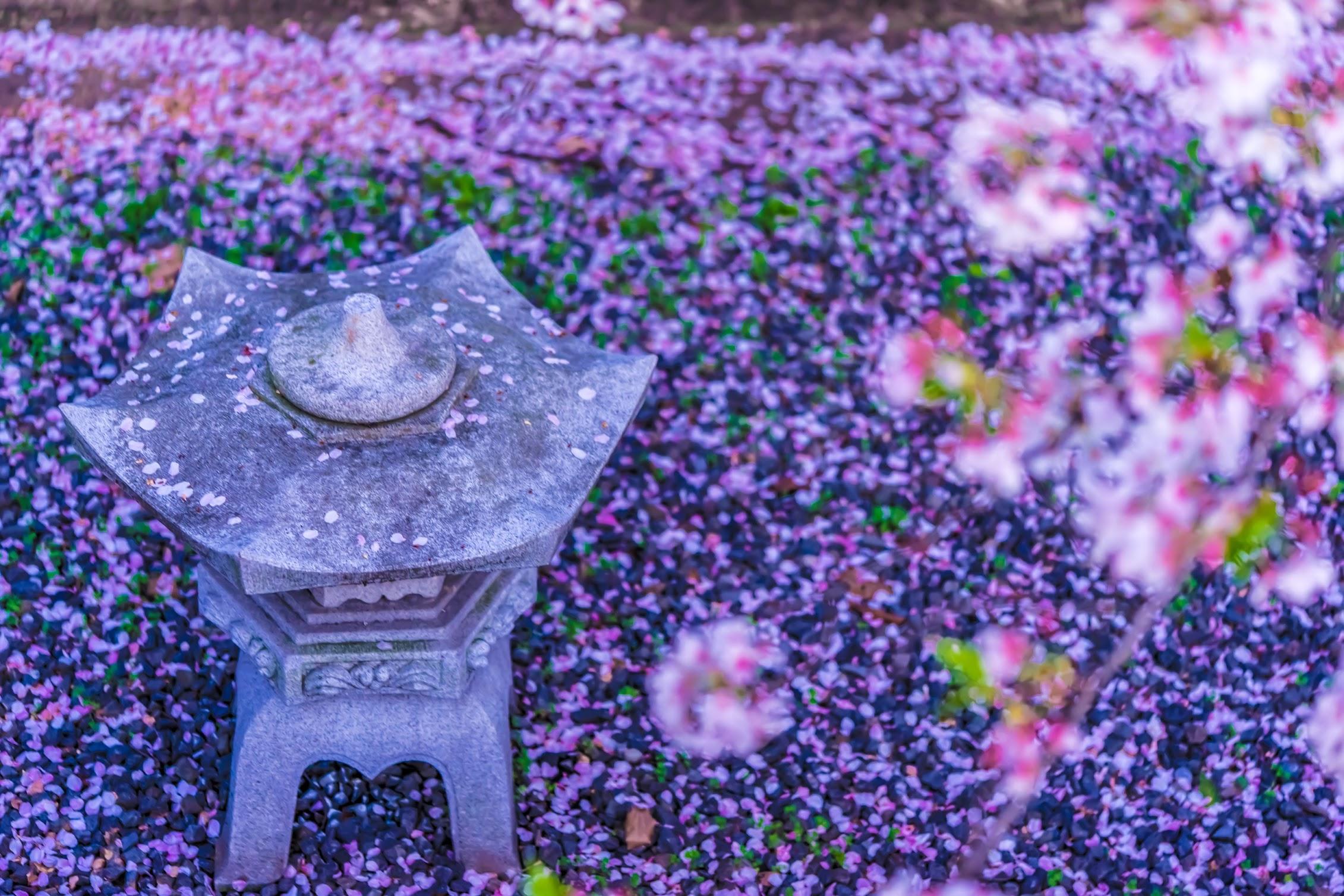 京都 六孫王神社 桜3