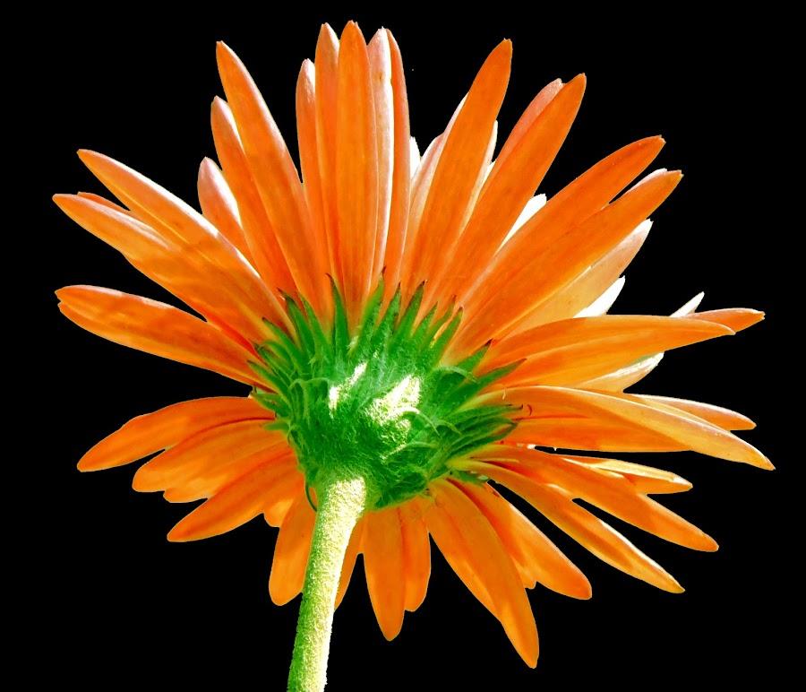 Orange Beauty by SANGEETA MENA  - Flowers Flowers in the Wild (  )