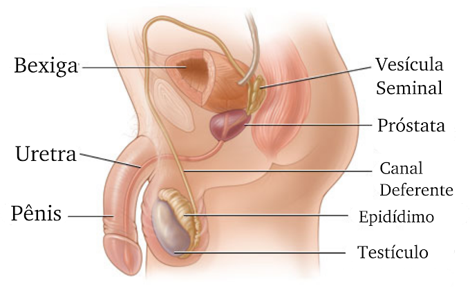 Fisiologia | Sistema Reprodutor Masculino