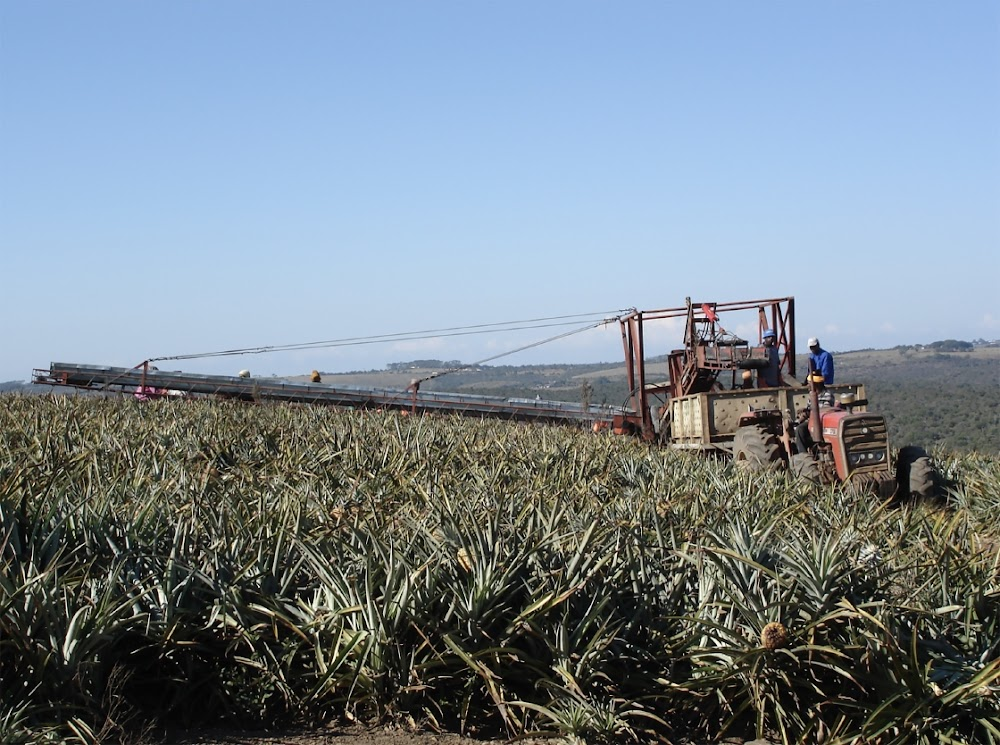 Major pineapple juice export venture on hold due to Covid-19