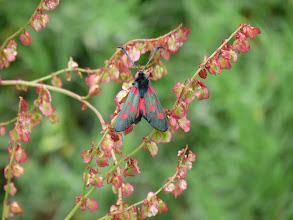 Photo: Burnet Moth