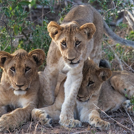 Lion Cubs by Chris Seaton - Animals Lions, Tigers & Big Cats ( lion, big cats, nature, wildlife, cubs,  )