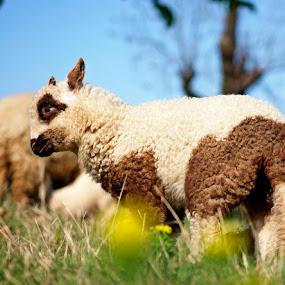 cute lamb by Mircea Bogdan - Animals Other Mammals