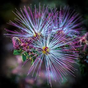 Fairy Duster by David Shearer - Flowers Flowers in the Wild ( arizona, flower )