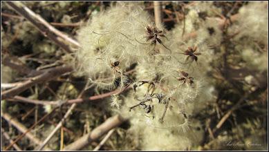 Photo: Curpen de pădure (Clematis vitalba) - din zona Str. Fabricii