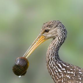Limpkin with Snail by Wil Domke - Animals Birds ( bird, everglades national park, florida, everglades, limpkin, animal )
