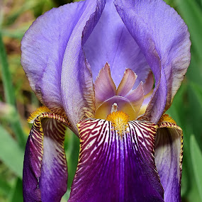 Iris 6 by Randy Young - Flowers Single Flower