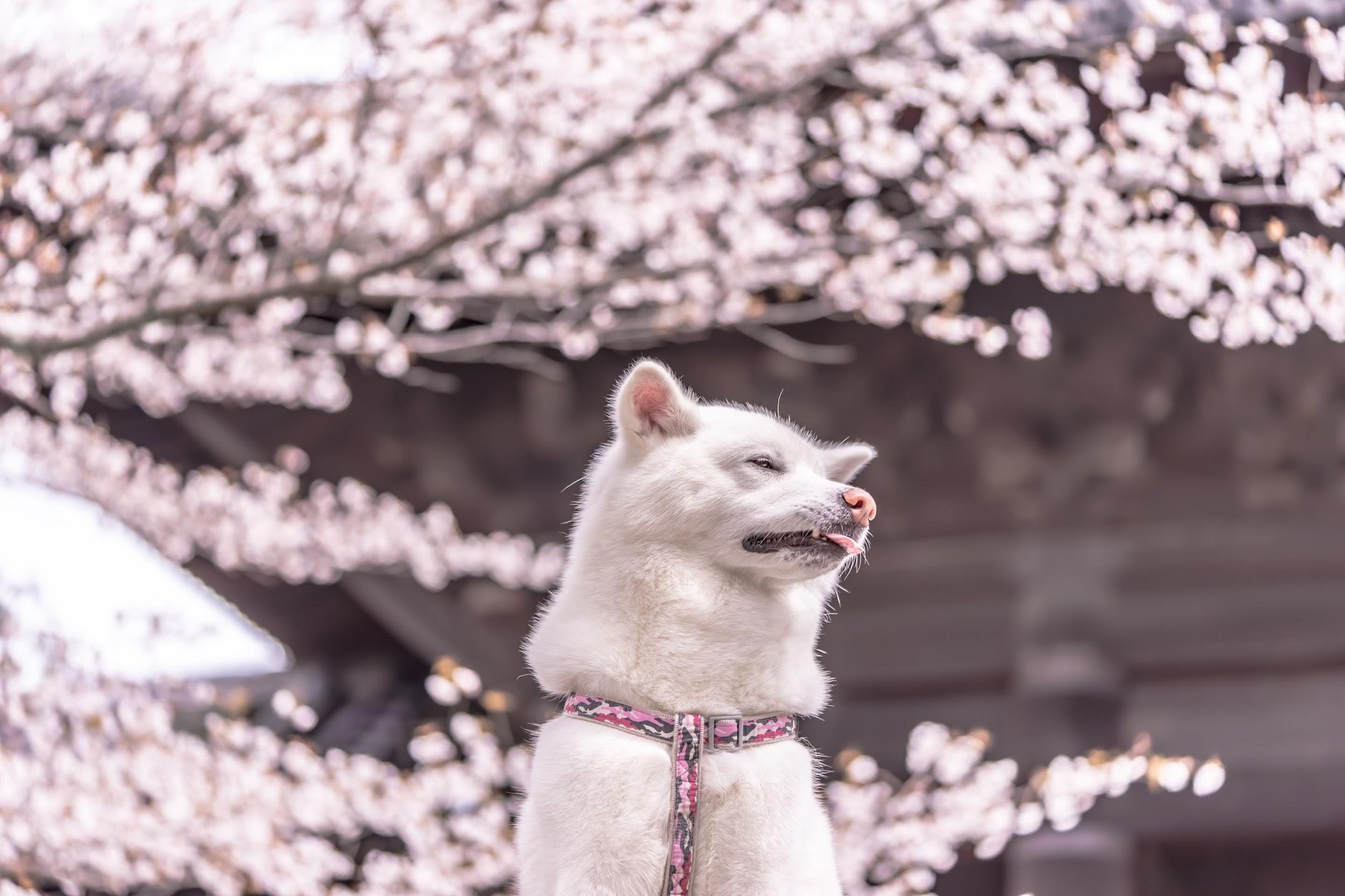 京都 桜 南禅寺2