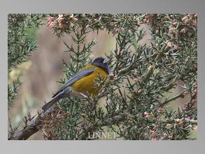 Photo: Peruvian Sierra-Finch(ペルーヤマシトド)