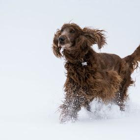 Snow Day by Susan Hughes - Animals - Dogs Running ( irish setter, snow, dog, gibbs )