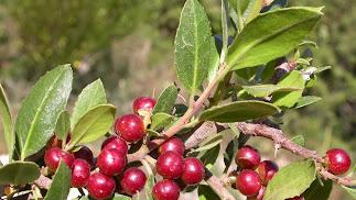 Imagen de los frutos del aladierno, de color rojo intenso.