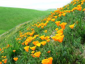 Photo: Poppies - M. White