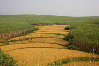 Photo: Day 220 - A River of Rice  (China)