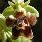 Ophrys attica