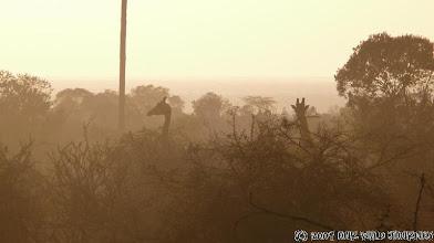 Photo: MUGIE Park - první žirafky, které jsme na cestě potkali / MUGIE Park - First giraffes we met on the way