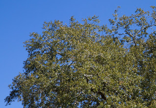 Photo: The oak tree behind the Assembly of God church on Massee Post Road