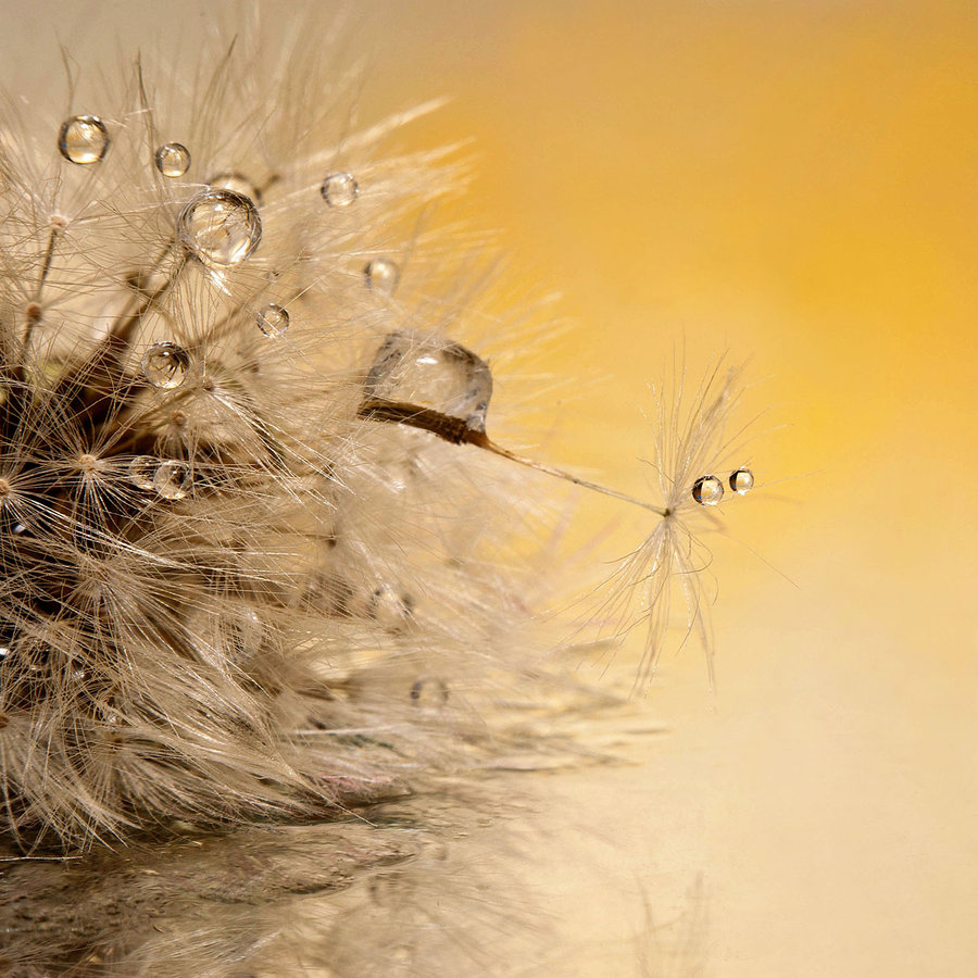 Orange monster eyes by Ágnes Somosi - Abstract Water Drops & Splashes ( dandelion macro water drop )