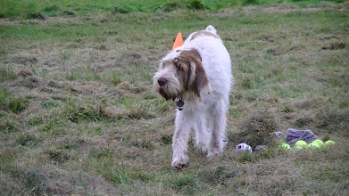 Photo: 1 minute Toy Retrieve and Lotti won 2nd prize for at least showing an interest in the toys. None retrieved though...