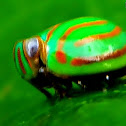 Orange-striped rounded Issid Planthopper