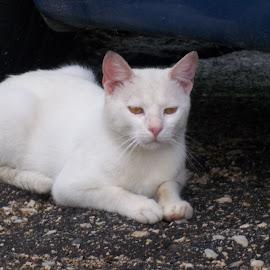 Коте by Georgi Kolev - Animals - Cats Portraits ( асфалт., котка., бял., ден., светлина. )