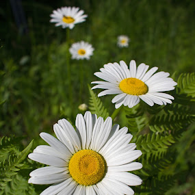 Daisy progression by Bill Diller - Flowers Flowers in the Wild ( nature centers, daisies, michigan, wild daisies, wild flowers )