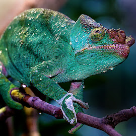 Green cameleon by Gérard CHATENET - Animals Reptiles