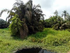 Photo: une palmeraie marécageuse