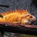 Iguana Wallpaper icon