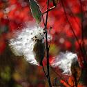 Common Milkweed (Seeds; Pods)