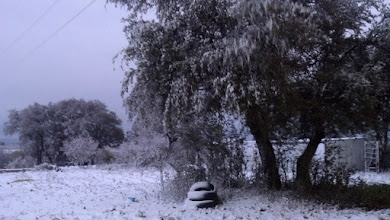 Photo: Live oaks look pretty with snow.