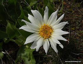 Photo: Large daisy, Steens Mountain