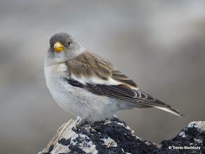 Photo: Snow Finch (Montifringilla nivalis), Hohsaas, Saas Valley, Switzerland