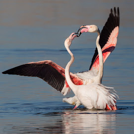 Flamingo love dance by Francois Retief - Animals Birds