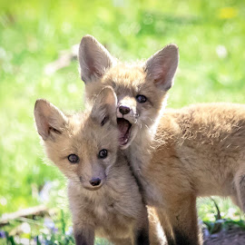 Red Fox Kits Playing by Debbie Quick - Animals Other Mammals ( rhinebeck, debbie quick, nature, debs creative images, new york, fox, national geographic, red fox, outdoors, mammal, kit, animal, hudson valley, wildlife )
