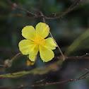 Common rock-rose
