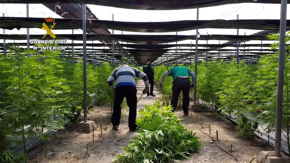 Los agentes de la Benemérita cortan plantas.