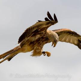 Red Kite by Stuart Walker - Animals Birds