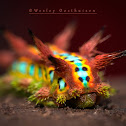 Slug or Cup Moth Caterpillar