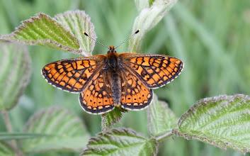 Photo: Euphrydryas aurinia     Lepidoptera Nymphalidae