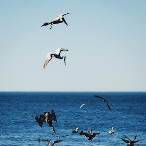 Diving Pelicans by Amanda Halliday - Animals Birds ( pelicans, ocean, beach, diving, birds )