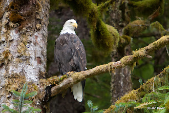 Photo: Bald eagles are everywhere.  I love finding them in great poses.