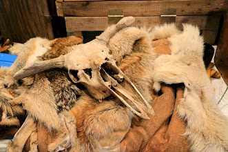 Photo: Moose skull with fox, coyote, and wolf pelts