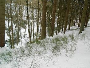Photo: blauwe bosbessenstruiken mooi groen op de witte sneeuw