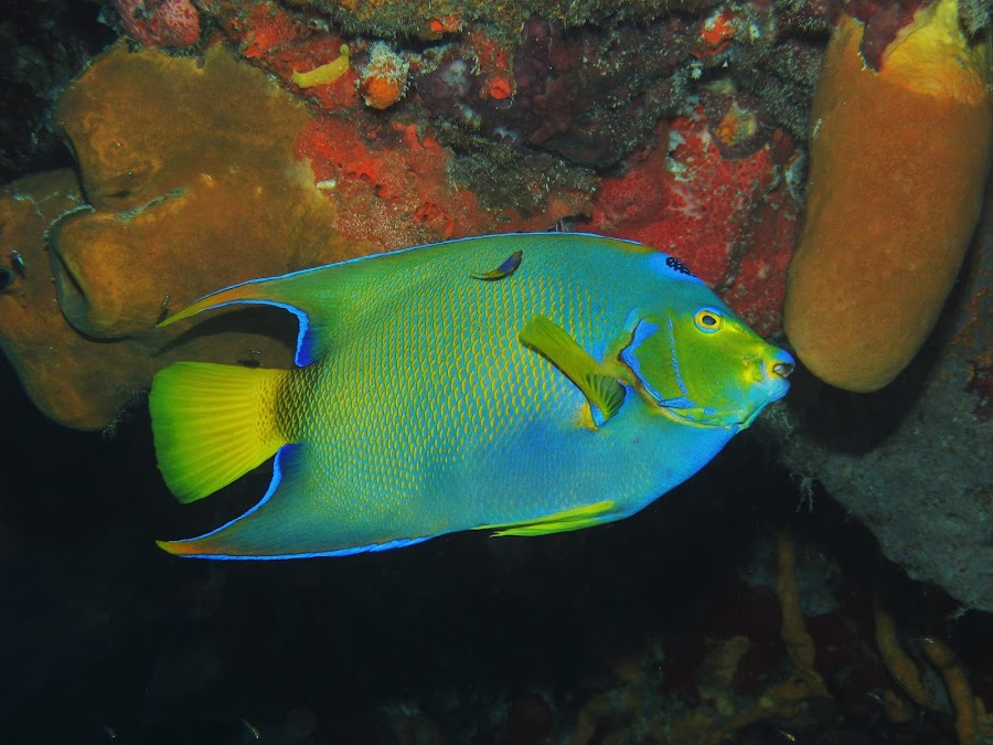 by Phil Bear - Animals Fish ( coral reef, coral, reef, mexico, fish, cozumel, angelfish, caribbean )