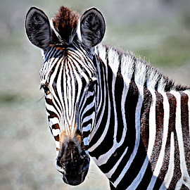 Zebra Portrait by Pieter J de Villiers - Animals Other