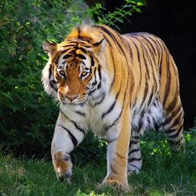 Armur Tiger by Max Molenaar - Animals Lions, Tigers & Big Cats ( cats, tiger, nature, wildlife, stripes )