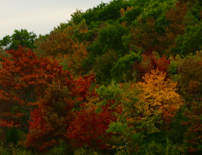 Photo: Rừng Thông mãi xanh, mặc cho gió mùa Thu tới với muôn lá đổi màu.
