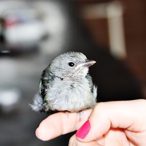 by Andre Salomão Brito Mattos - Animals Birds ( hands, birds, small, close,  )